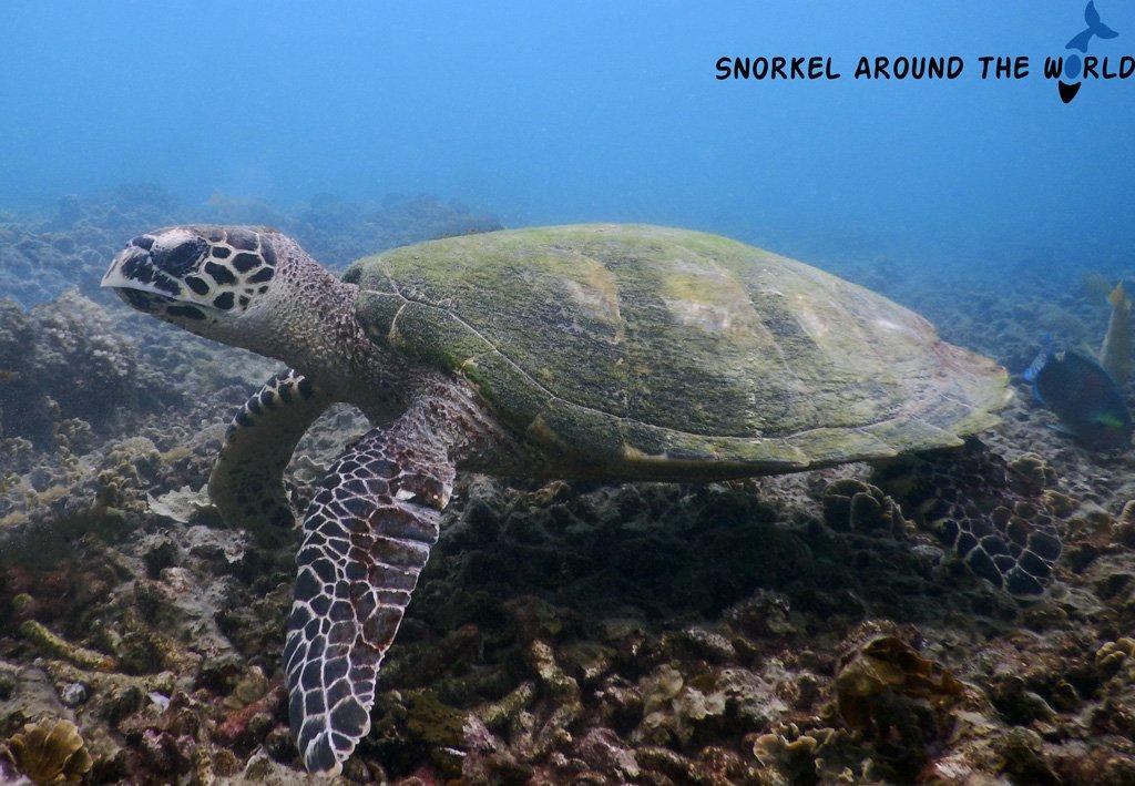 Hawksbill Turtle - Koh Tao - Swimming with sea turtles