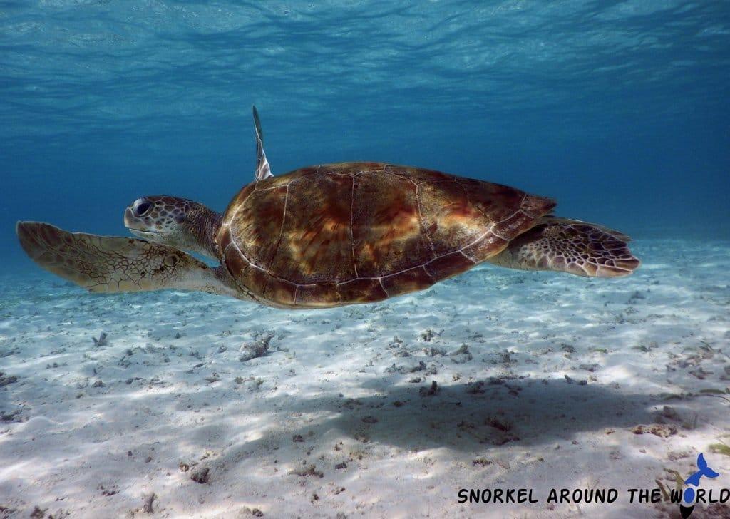 Maldives - Turtle snorkeling