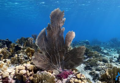 Purple sea fan - Caribbean