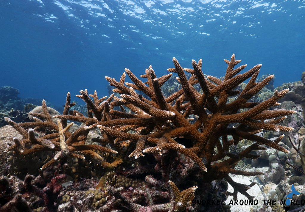 Staghorncoral - Caribbeansea