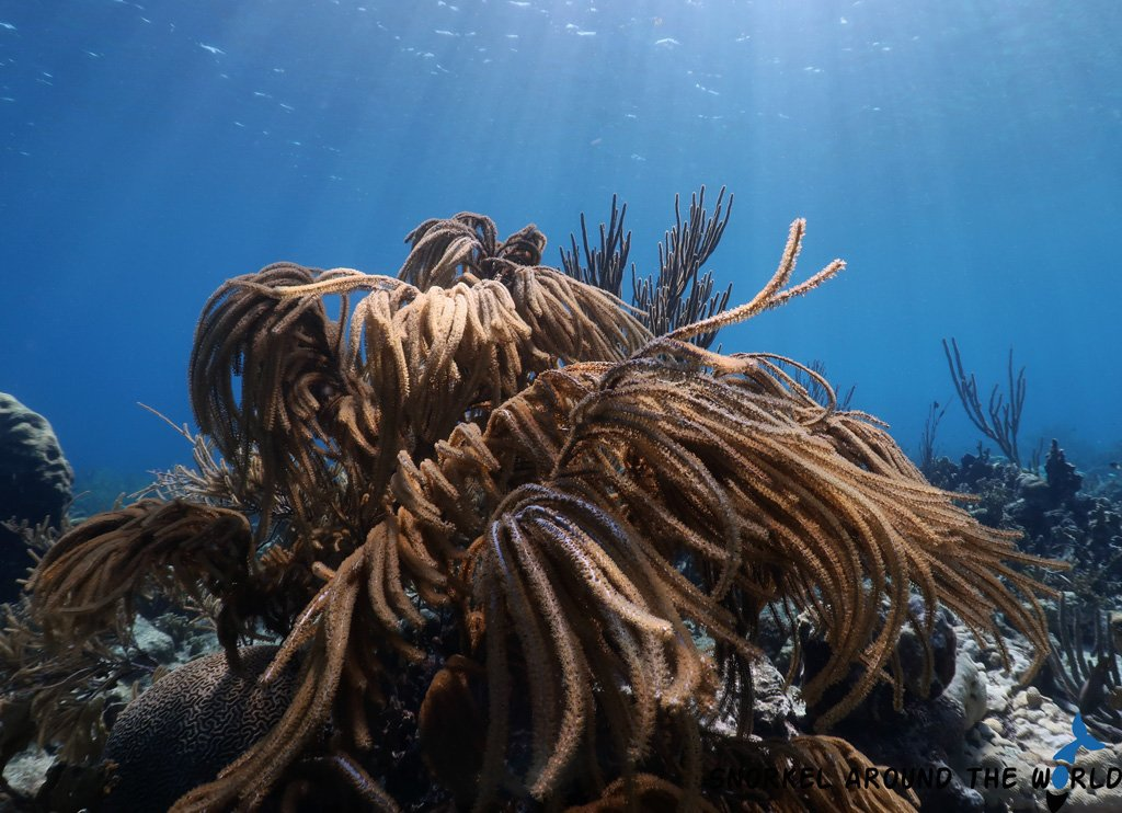 Yellowsoftcoral - Caribbeansea - Seaplumes