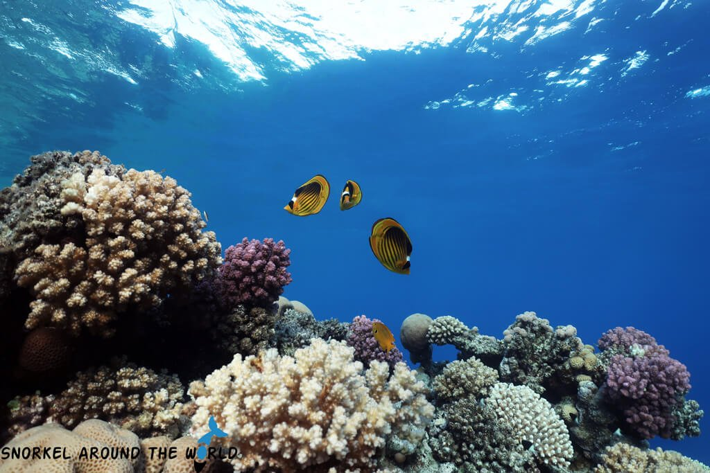 Butterflyfish - Red Sea