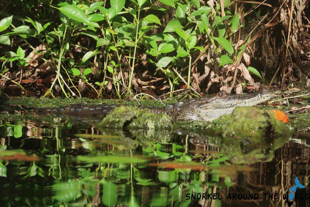 Carwash Cenote crocodile