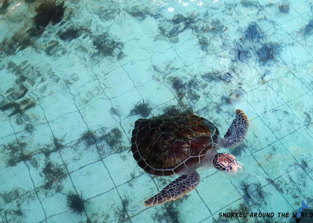 Green sea turtle Bali