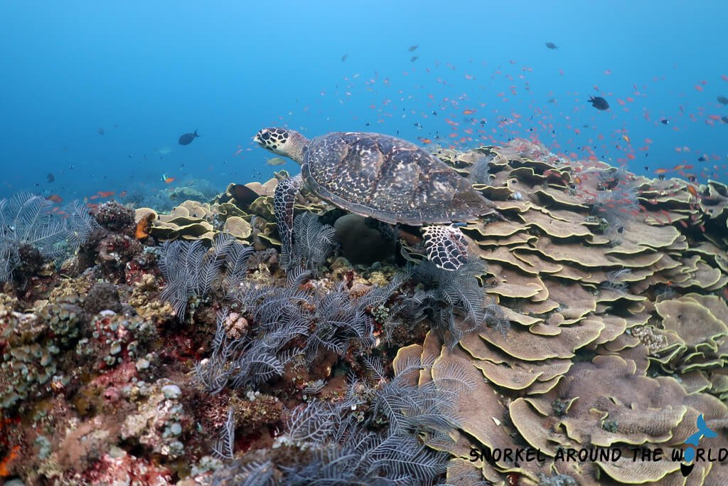 Sea turtle on the Amed coral reef