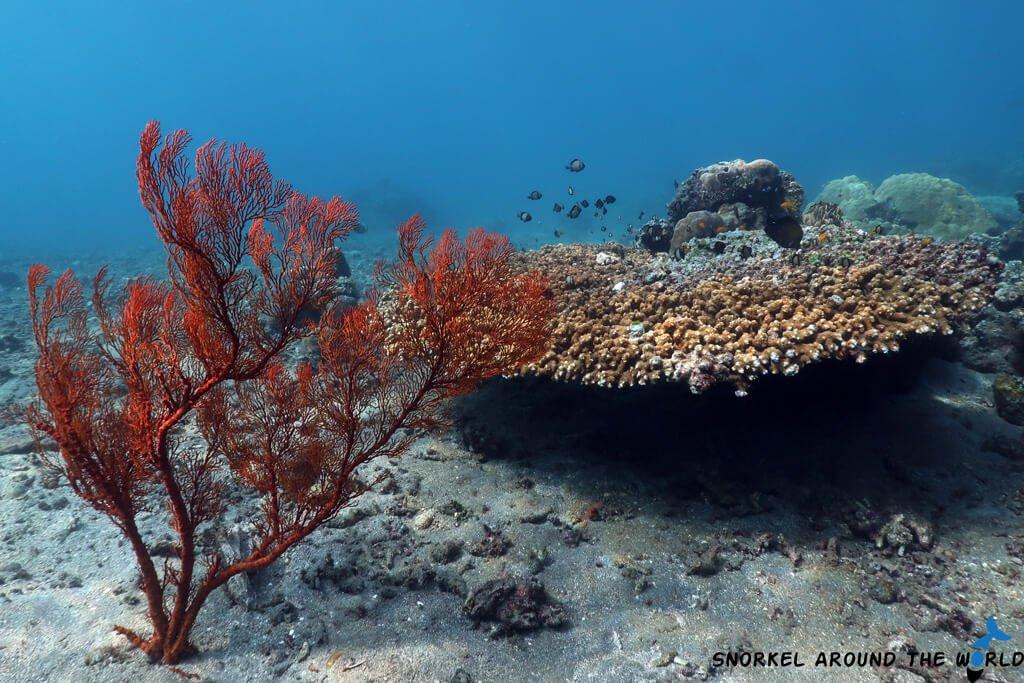 Soft corals Lipah Beach Amed