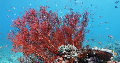 Snorkeling in Bali - Red soft coral