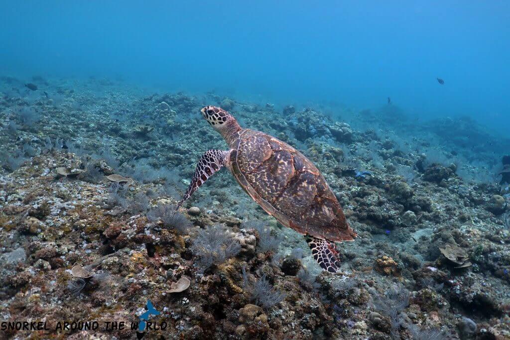 Sea Turtle in Bali