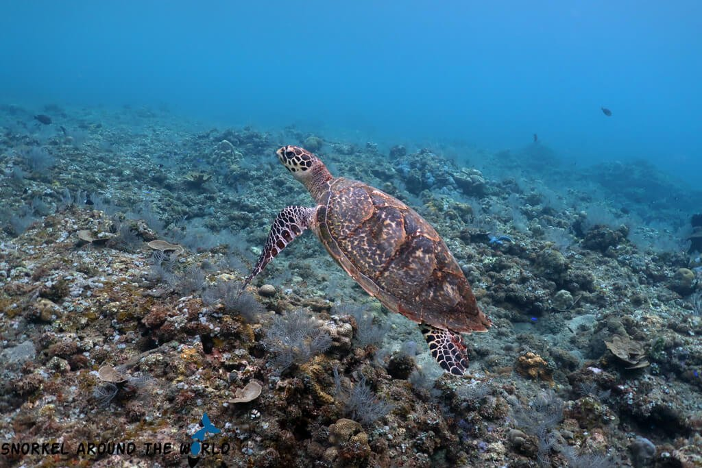 Sea Turtle - Amed - Kembali