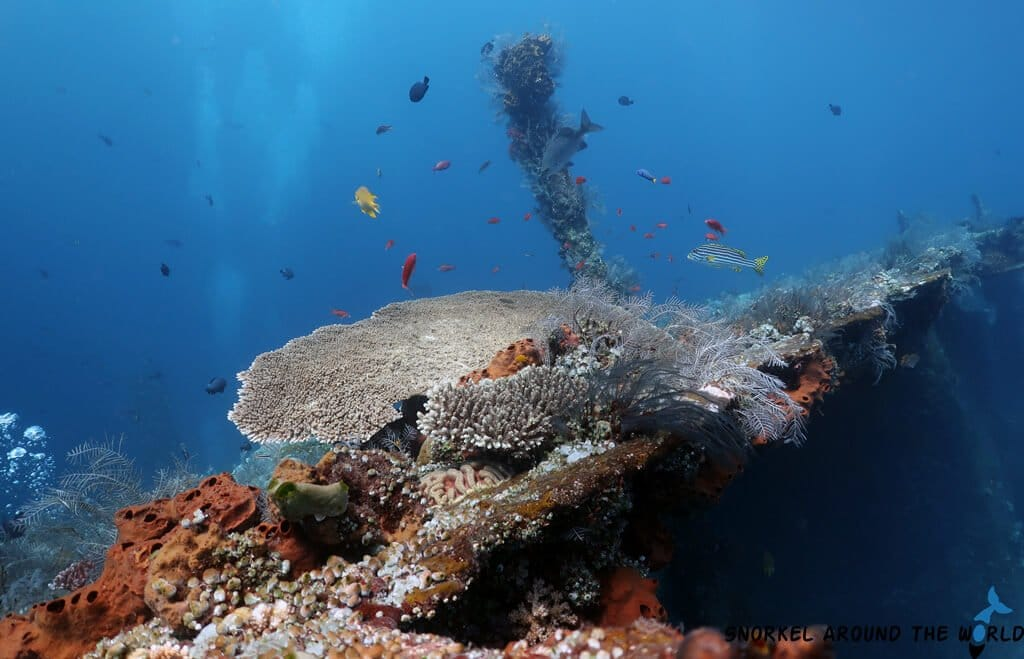 Corals on the USAT Liberty shipwreck