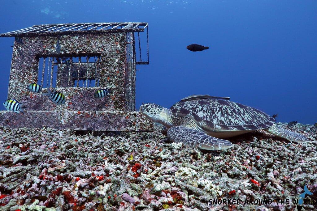 Giant Turtle sleeping underwater