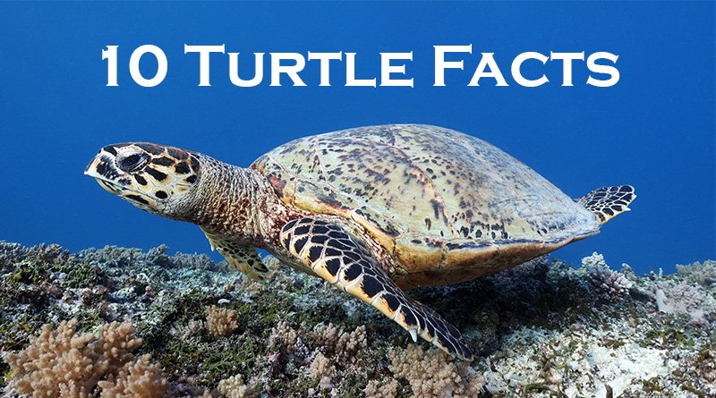 Turtle on Bali - 10 turtle facts