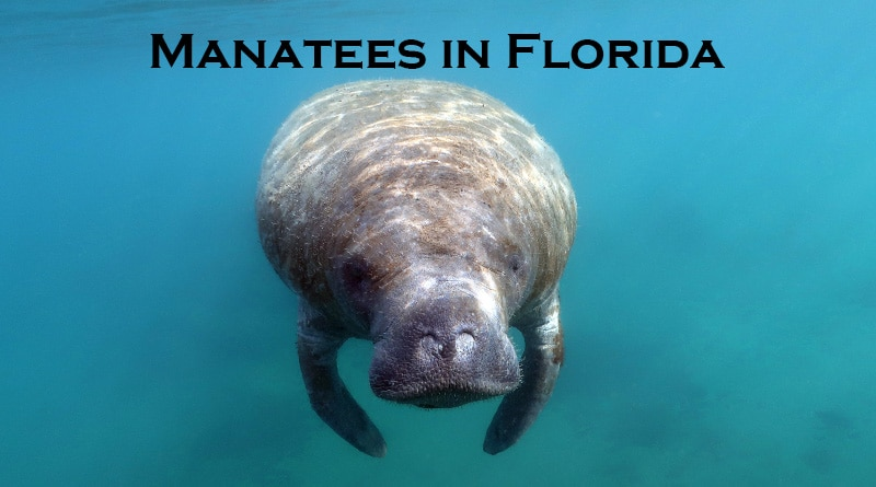 Manatee underwater while snorkeling in Florida