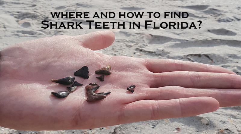 Shark teeth in hand