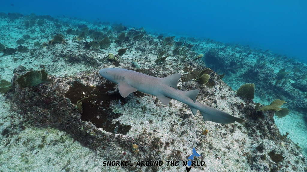 Nurse shark - Eden Rock