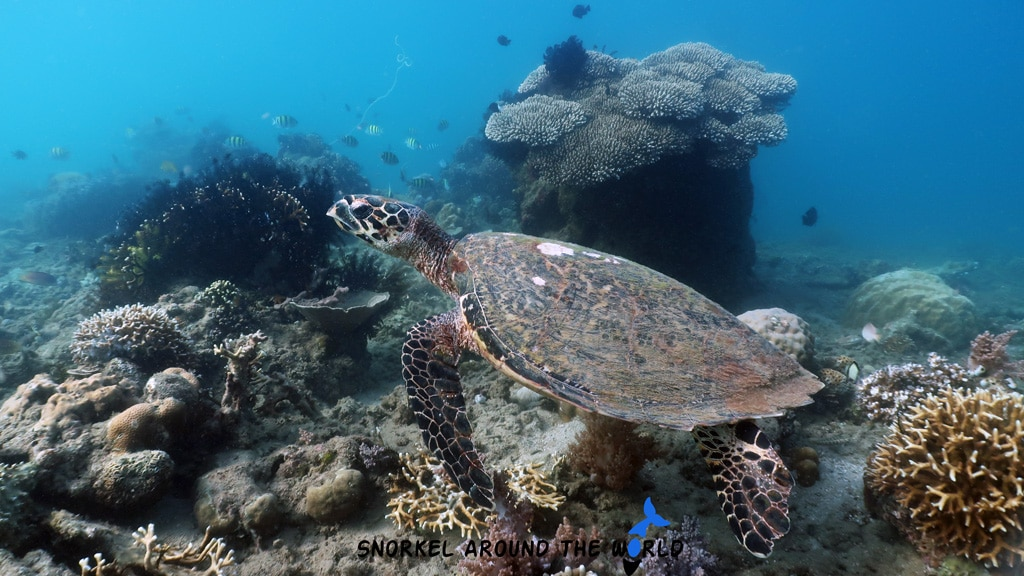 Turtle in Gili Asahan