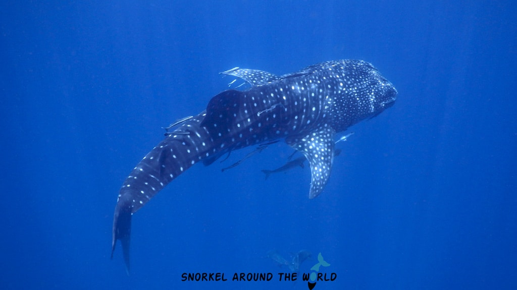 Whale shark in the Maldives
