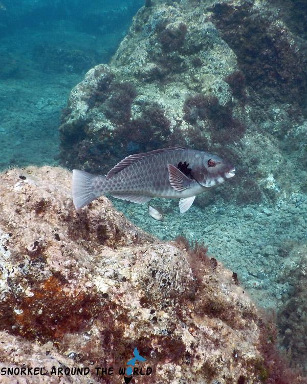 Lanzarote - Parrotfish