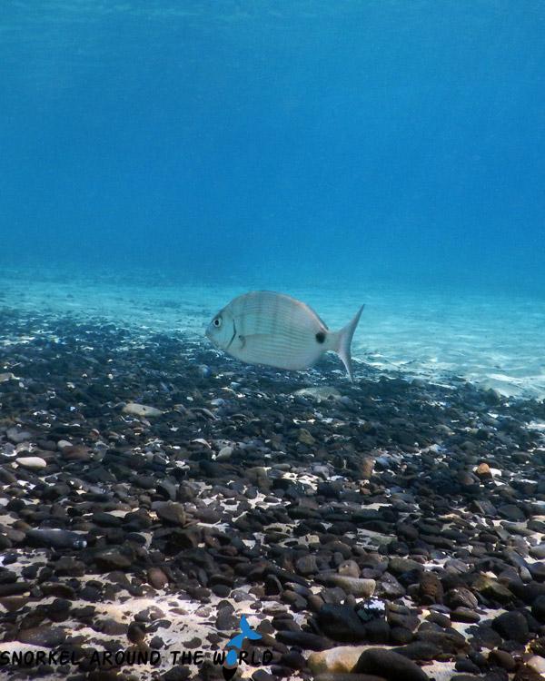 White Seabream - Lanzarote