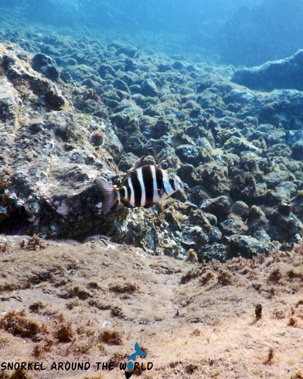 Zebrafish Seabream - Lanzarote