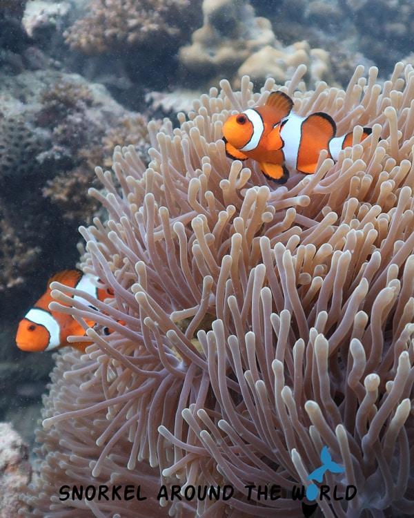 Anemonefish (Nemo) - Thailand