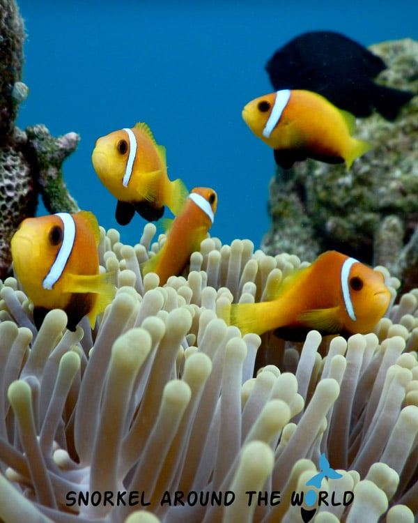 Anemonefish Maldives