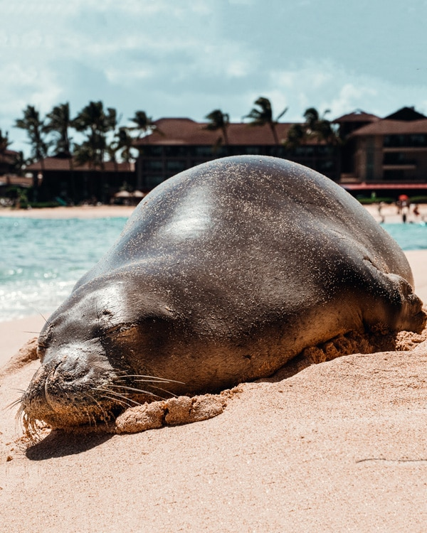 Hawaiian monk seal on the beach - Kauai