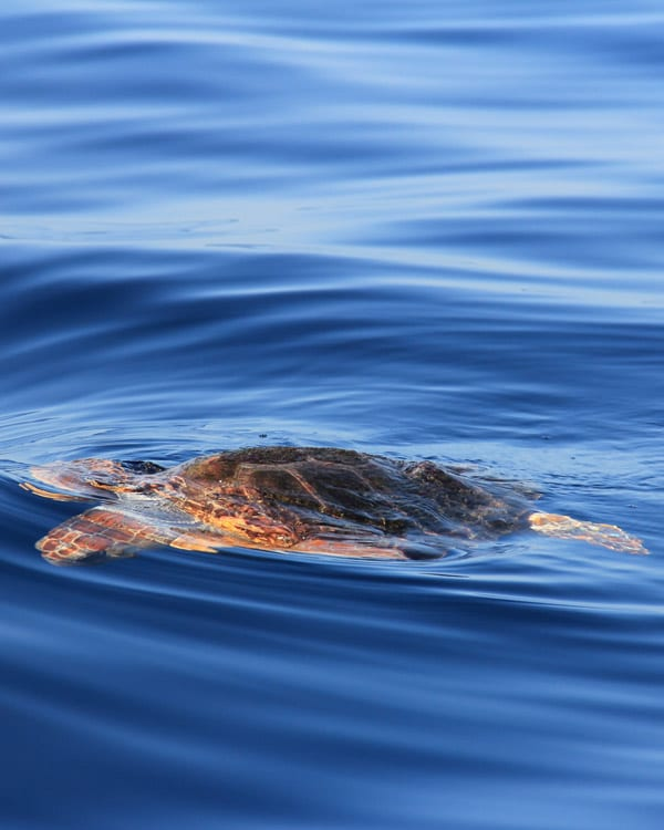 turtle in Tenerife