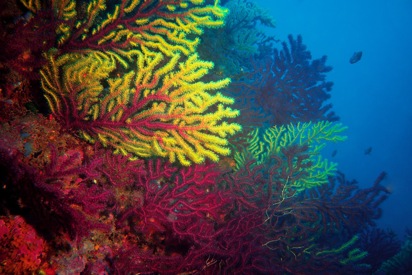 Yellow soft corals - Medes Islands Spain