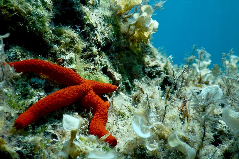 Red seastar - Paloma beach
