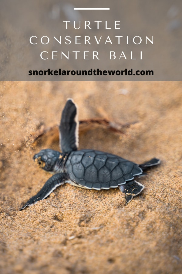 Baby sea turtle in the sand in Bali