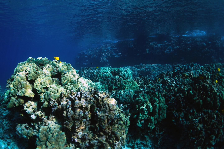 Corals in Kealakekua Bay Hawaii Big Island