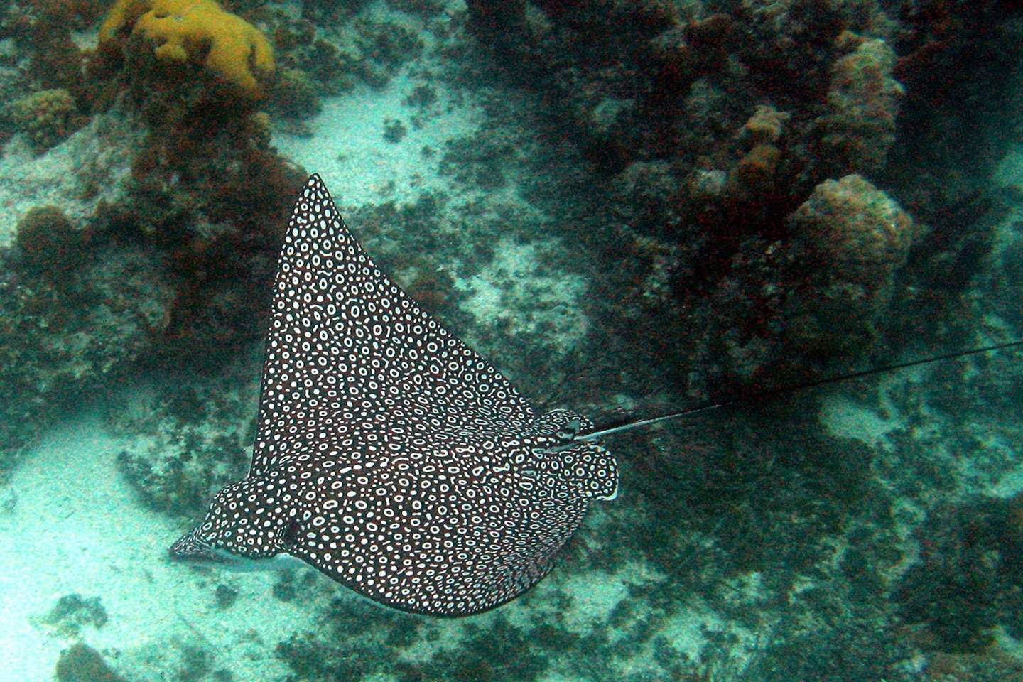 Eagle ray in Mexico spotted while snorkeling in Cozumel