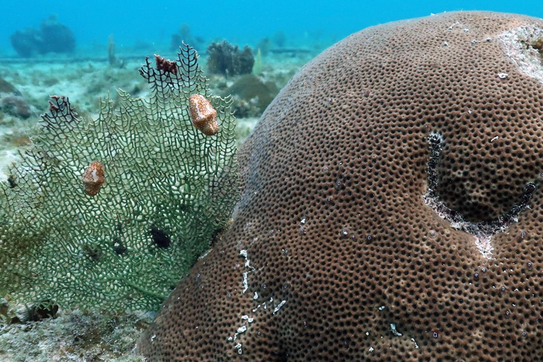 Sea snails in the Caribbean Sea