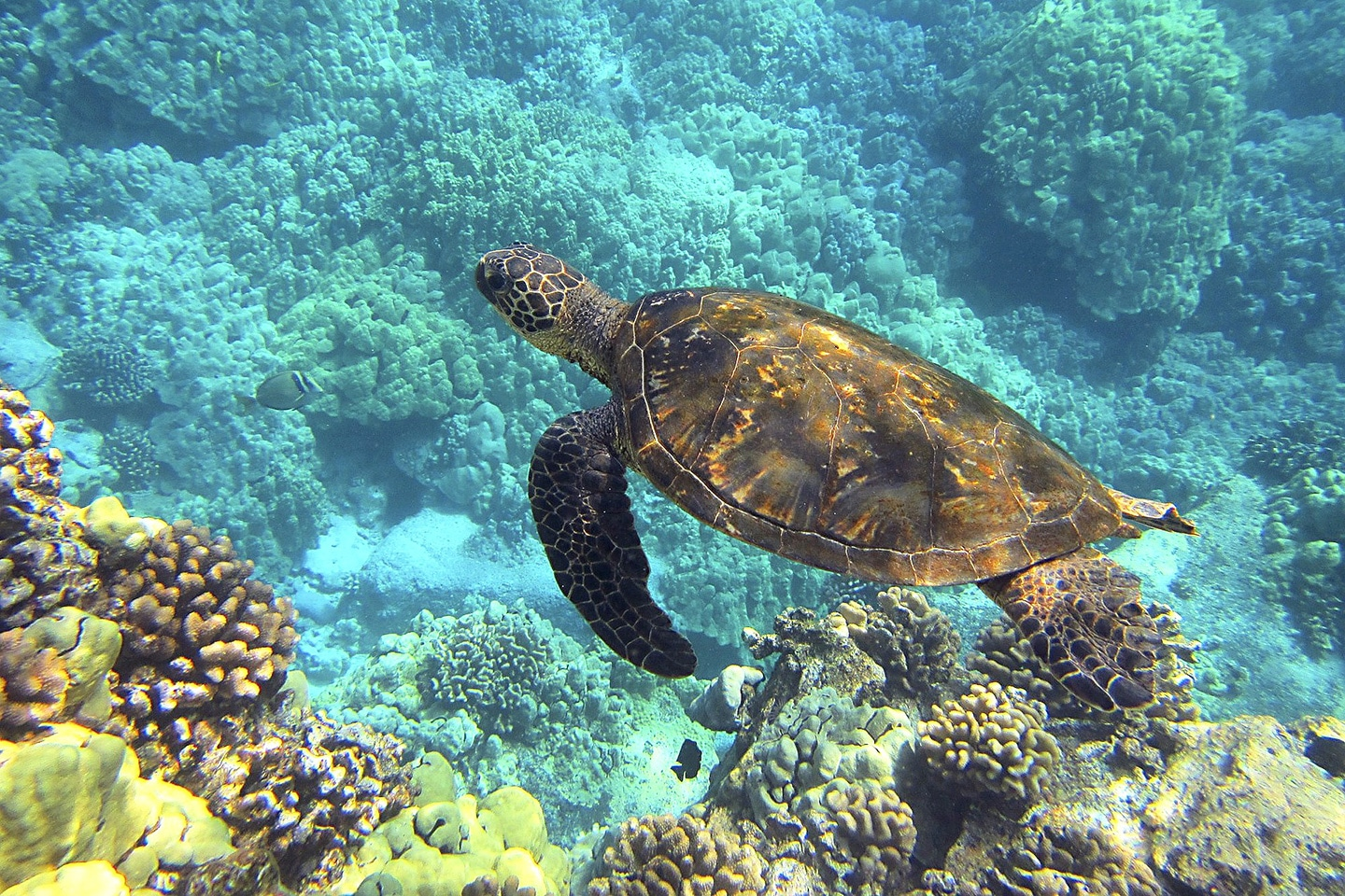 Green Sea turtle in Maui