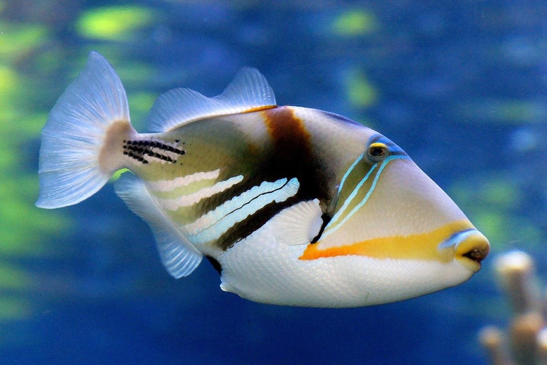 Hawaii State Fish