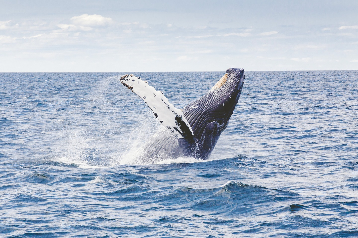 Migrating Humpback Whale in Australia