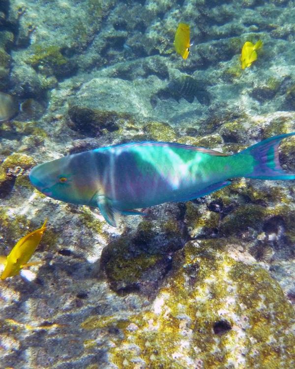 Rainbow Parrotfish Hawaii