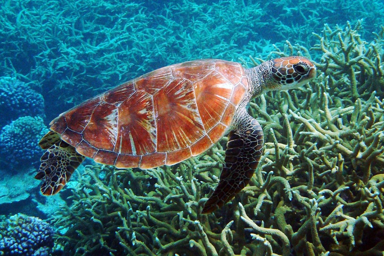 Sea turtle over corals