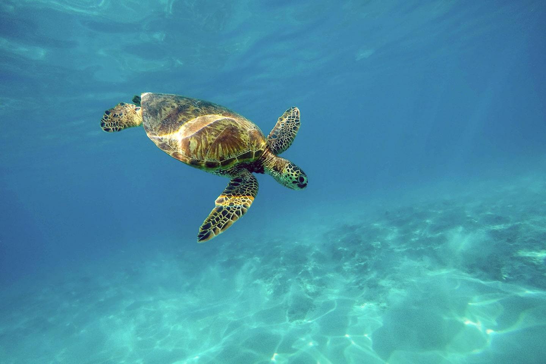 Sea turtle in Hawaii Big Island