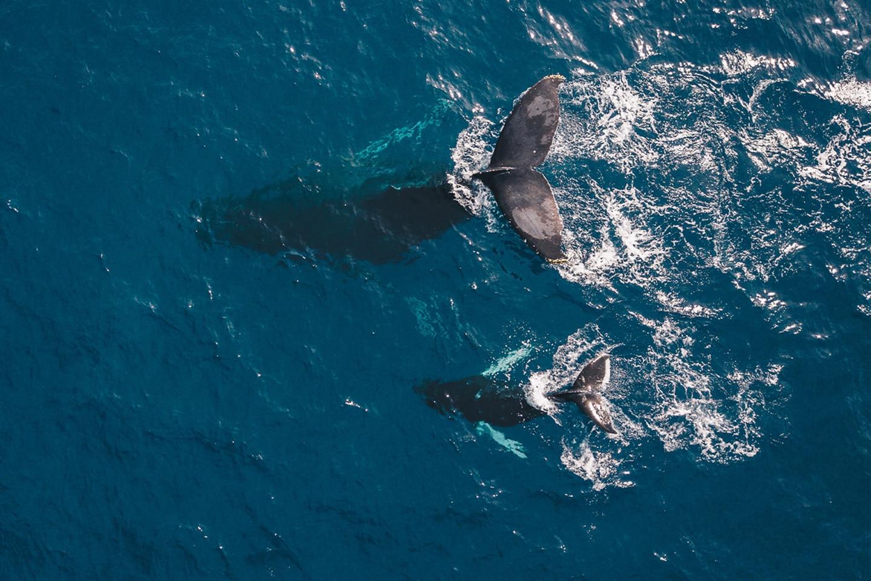 Humpback whale mama and calf