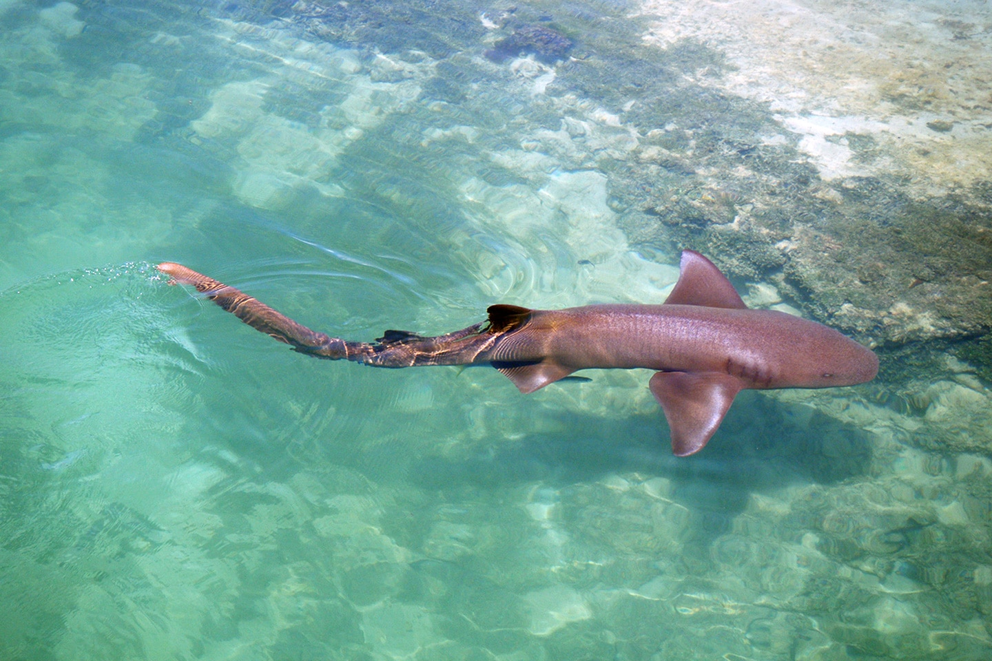 Nurse shark in Jamaica