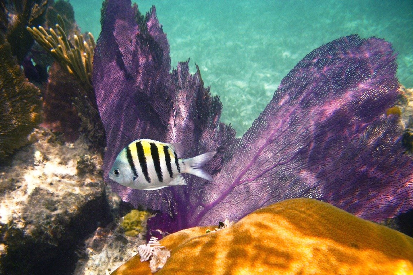 Sergeant Major Fish in the Caribbean Sea