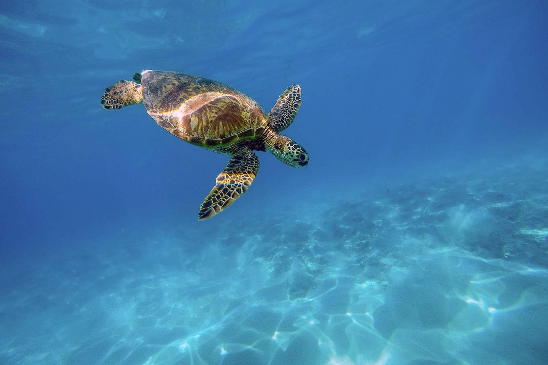 green sea turtle is swimming