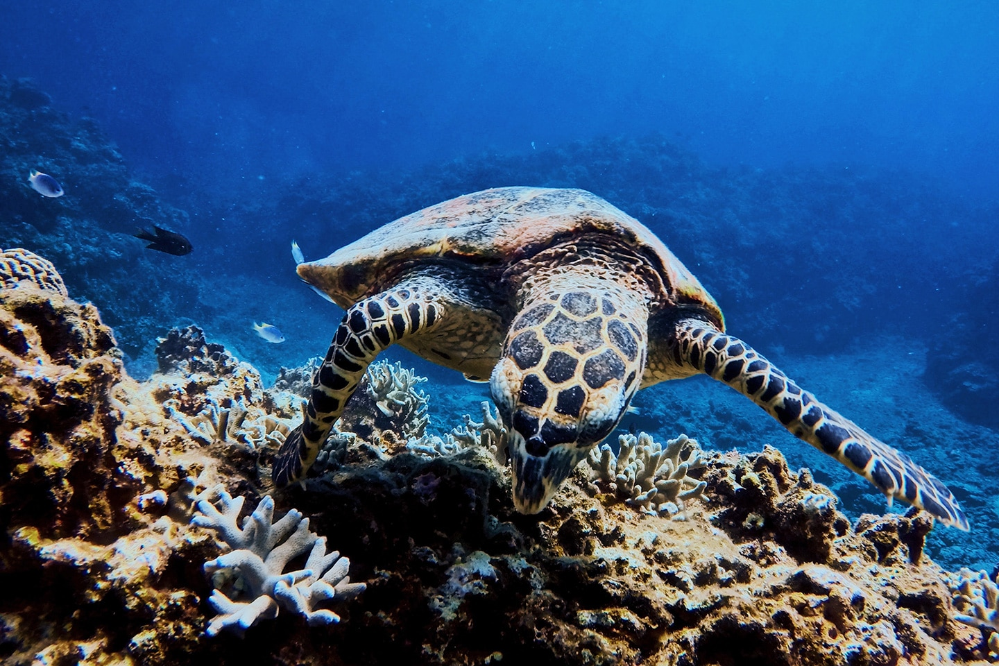 Hawksbill turtle is eating coral
