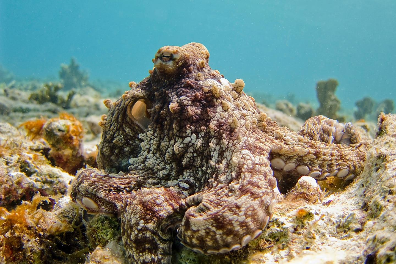 Octopus - Bari Reef Kralendijk