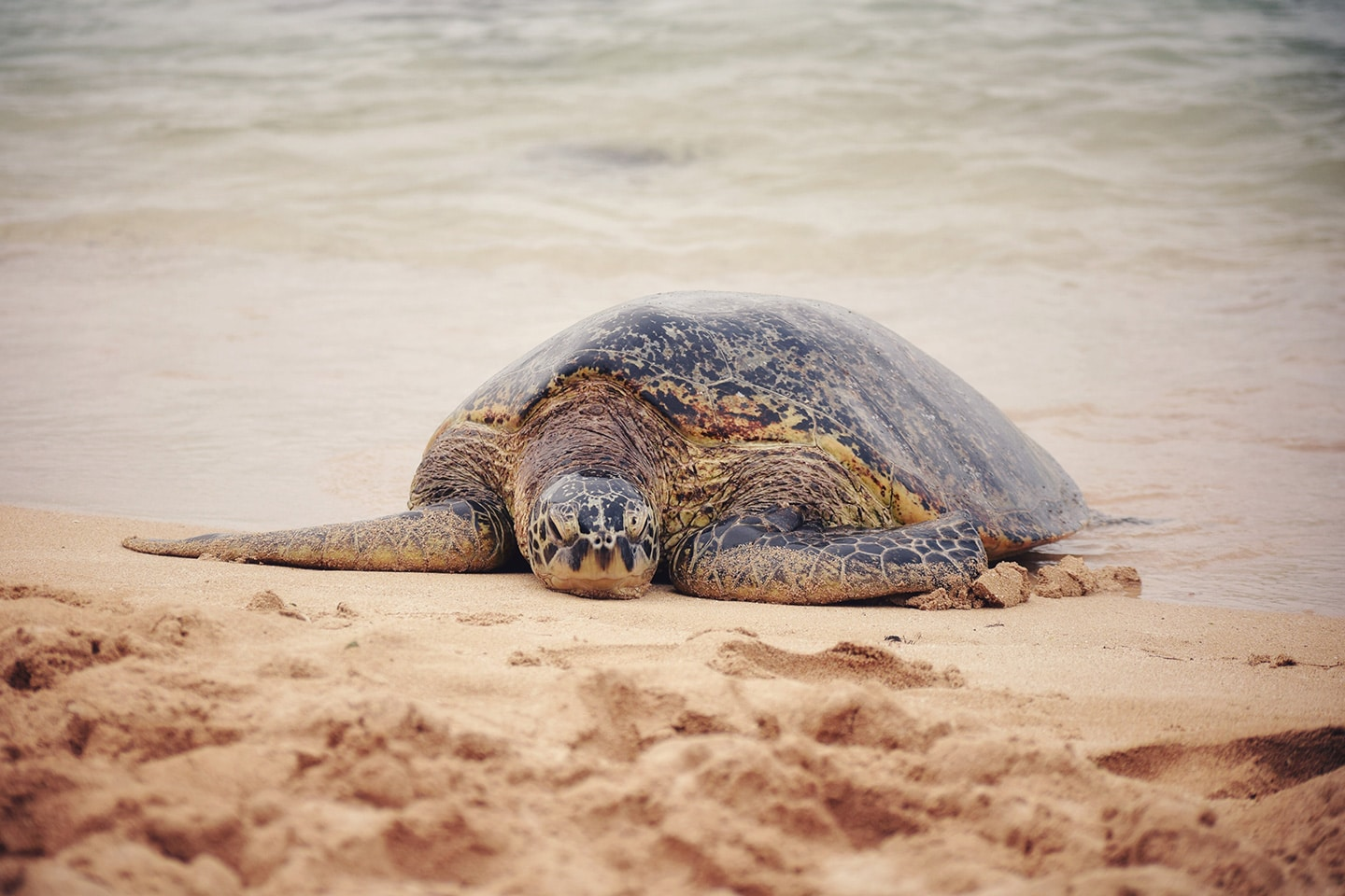 Turtle on the shore in Hawaii