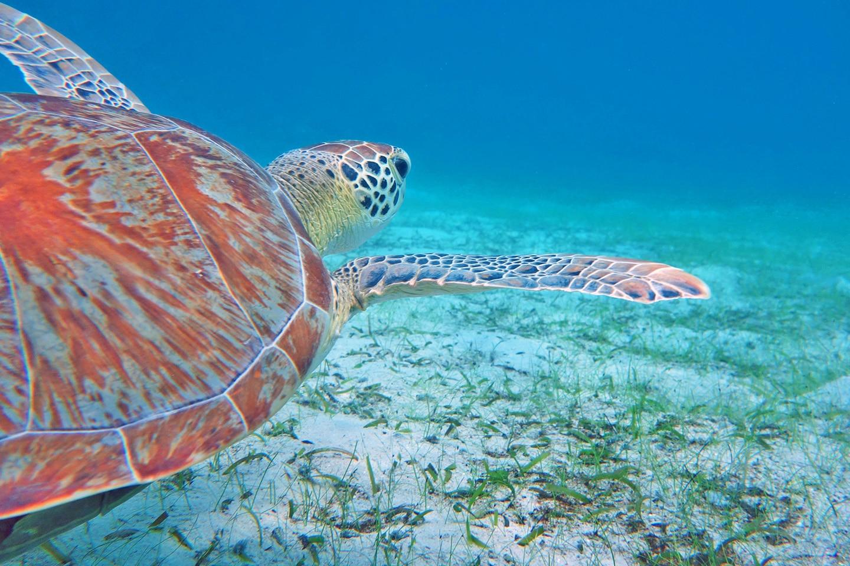 Sea turtle - St John