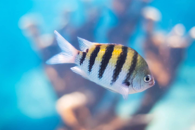 Sergeant major fish in the Caribbean Bonaire