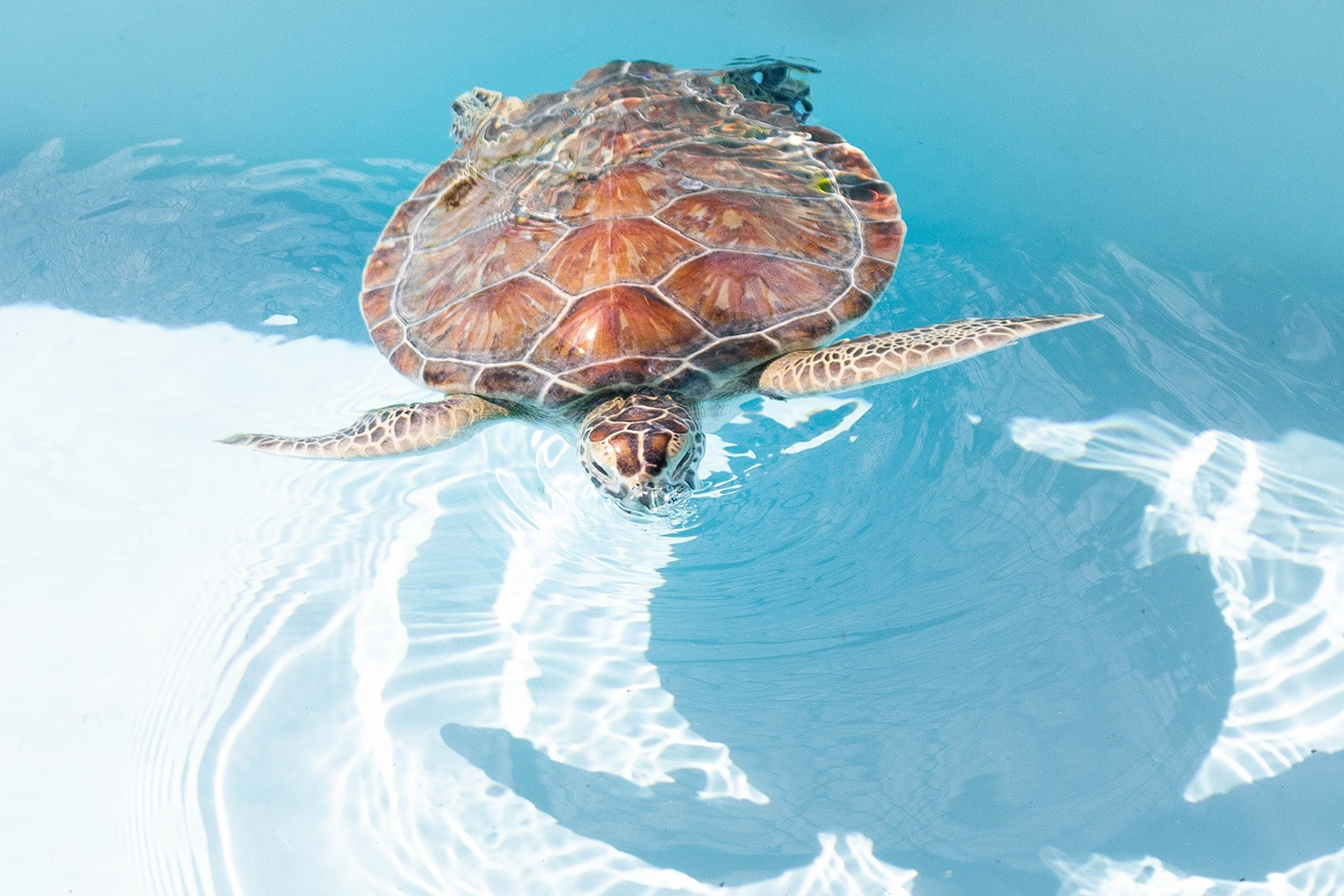 Turtle is breathing on the surface